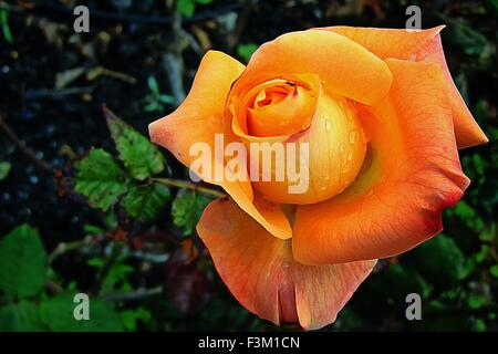 Closeup of an isolated orange rose bud in the garden - Stock Photo