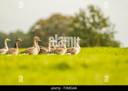 Mallards getting ready to fly - Stock Photo