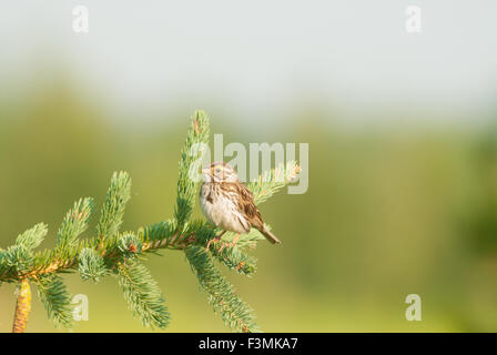 Savannah sparrow, Passerculus sandwichensis, perched on a conifer branch, St Albert, Alberta, Canada - Stock Photo