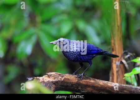 Blue Whistling Thrush (Myophonus caeruleus) in Mae Wong national park, Thailand - Stock Photo