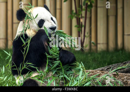 Giant Panda at the local zoo, eating bamboo shoots. - Stock Photo