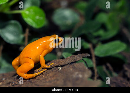 A tiny orange Poison Dart Frog, at the local zoo. - Stock Photo