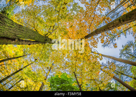 Looking Up Through Autumn Trees while sitting on a bench. - Stock Photo