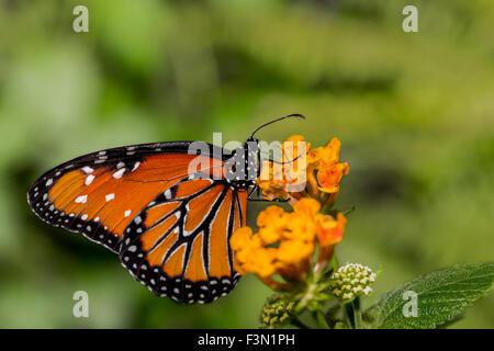 An orange Queen Butterfly resting on orange blossoms. - Stock Photo