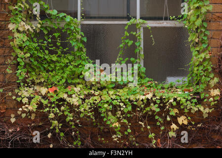 Green, yellow, and red ivy creeping over a window on the side of a brick building. - Stock Photo