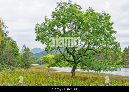 GREAT GLEN WAY OR TRAIL LAGGAN TO FORT AUGUSTUS SCOTLAND ASH TREE ALONGSIDE THE CALEDONIAN CANAL - Stock Photo