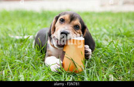 beagle puppy dog sits on grass and enjoys chewing up paper cup - Stock Photo