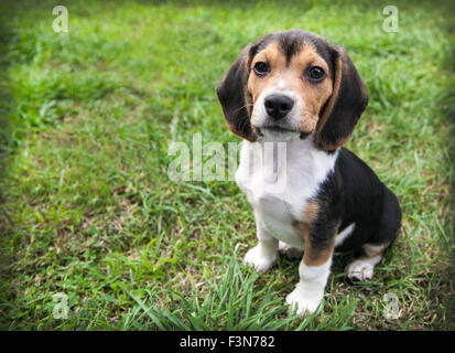 beagle puppy dog with floppy ears is at rest sitting on the green grass - Stock Photo