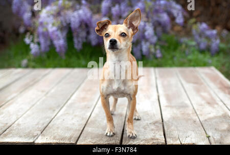 little pet chihuahua dog stands on deck of wood boards with her ear up in front of wisteria.