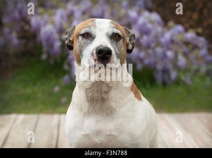 senior pitbull dog collarless sits on wood deck in front of purple wisteria flower vines - Stock Photo