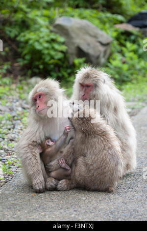 Japanese macaques (Macaca fuscata) grooming a mother with baby - Stock Photo