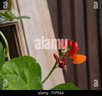Red runner bean flowers - Stock Photo