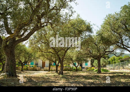 Olive grove and authentic village- house. - Stock Photo