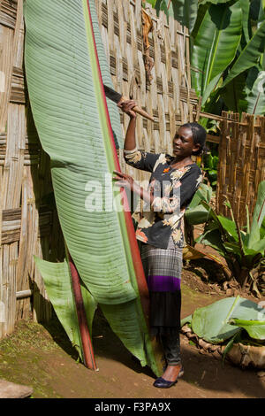 Africa, Ethiopia, Omo region, Chencha, Dorze village the fruitless Banana plant. These leaves are the major ingredient - Stock Photo