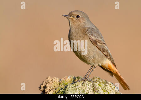 Black Redstart, Female standing on a rock, Campania, Italy, (Phoenicurus ochruros) - Stock Photo