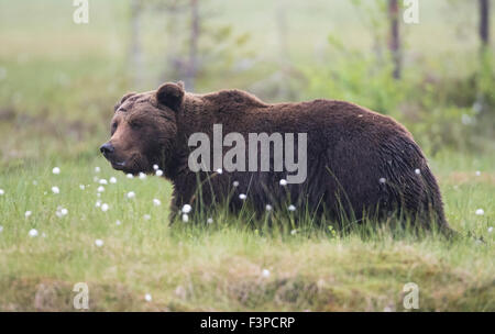 Close up phot on Brown bear, Ursus arctos walking in grass with Cotton grass, Kuhmo, Finland