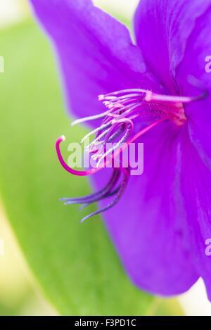 Tibouchina urvilleana - glory bush - Stock Photo
