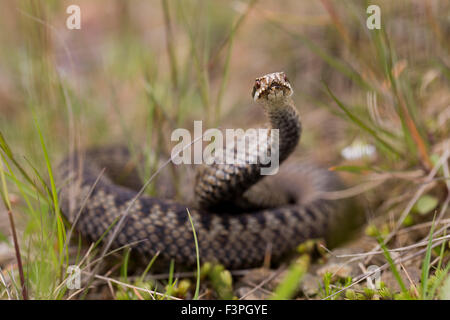 Adder; Vipera berus Single Female; Northumberland; UK - Stock Photo