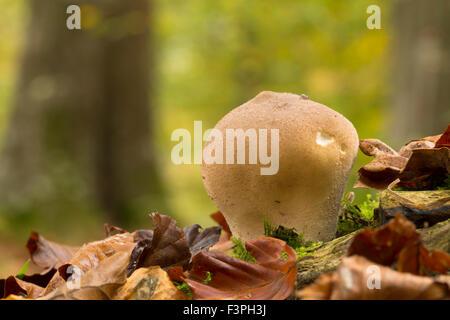 Common Puffball; Lycoperdon periatum Berkshire; UK - Stock Photo