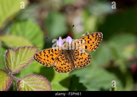 Small Pearl Bordered Fritillary Butterfly Clossiana selene; Single on Bramble Northumberland; UK - Stock Photo