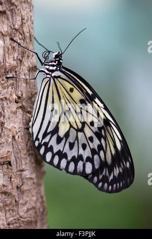 Tree Nymph Butterfly (Idea Leuconoe) holding on to a piece of tree bark. - Stock Photo
