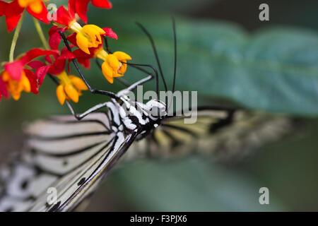 Tree Nymph Butterfly (Idea Leuconoe) - Stock Photo