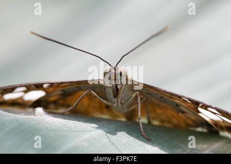 Clipper Butterfly (Parthenos Sylvia) - Stock Photo