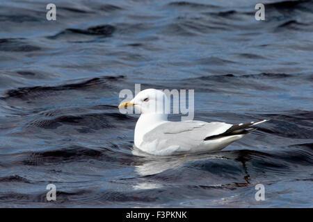 Common Gull Larus canus adult in breeding plumage swimming - Stock Photo
