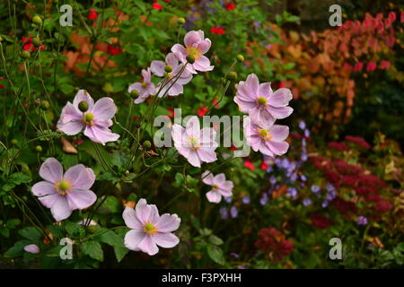 Japanese anemones in autumn border tapestry - Stock Photo