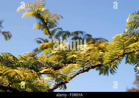 Close up of branch and leaves of Metasequoia glyptostroboides, Dawn redwood tree - Stock Photo