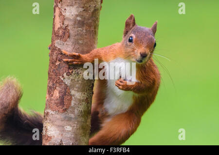 Red squirrel, Sciurus vulgaris - Stock Photo