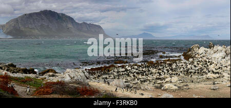 Penguin colony, Western Cape, South Africa - Stock Photo