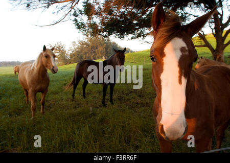 Horses near of one of the many ranches around Waimea. Big Island. Hawaii. USA. Travel east, inland from the volcanic - Stock Photo