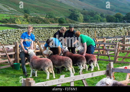 Farmers prepare their animals for judging at Wasdale Shepherds Meet, Cumbria. - Stock Photo