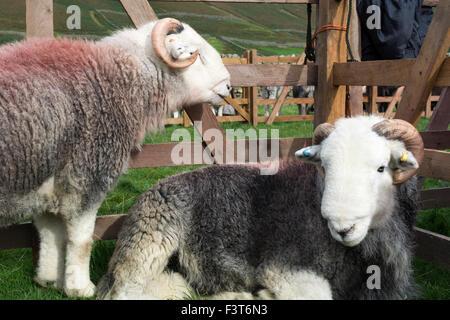 Herdwick sheep at Wasdale Shepherds Meet, Cumbria. - Stock Photo