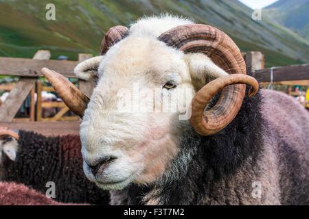 Herdwick ram at Wasdale Shepherds Meet, Cumbria. - Stock Photo