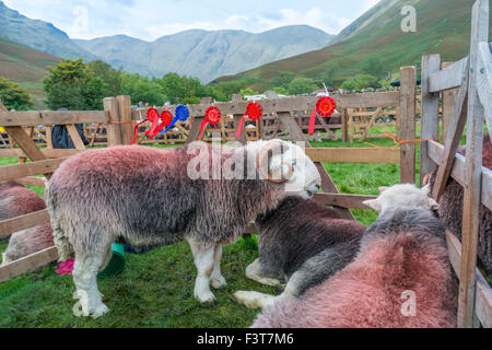 Herdwick rams, known locally as 'tips' or 'tups', at Wasdale Shepherds Meet, Cumbria. - Stock Photo