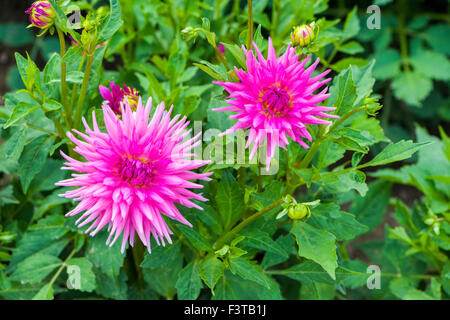 The flower in blossom of a dahlia named Pink Mathilda - Stock Photo