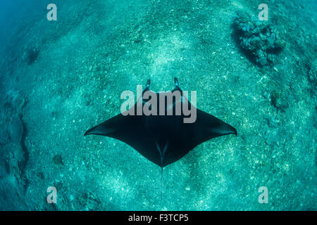 A large Manta ray (Manta alfredi) cruises over a reef pinnacle in Komodo National Park, Indonesia. - Stock Photo