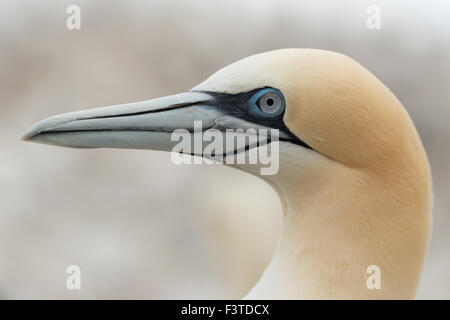 Gannet (Morus bassanus) - Stock Photo