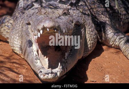 OPEN JAWS OF A SALTWATER OR 'SALTIE' CROCODILE (CROCODYLUS POROSUS) WILDLIFE PARK, WESTERN AUSTRALIA - Stock Photo