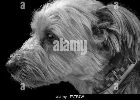 A close up of a Yorkshire Terrier wearing a collar in black and white on a black background. - Stock Photo