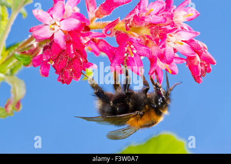 Tree Bumblebee (Bombus hypnorum) queen feeding on Red-flowering currant  (Ribes sanguineum) in a garden. Powys, - Stock Photo