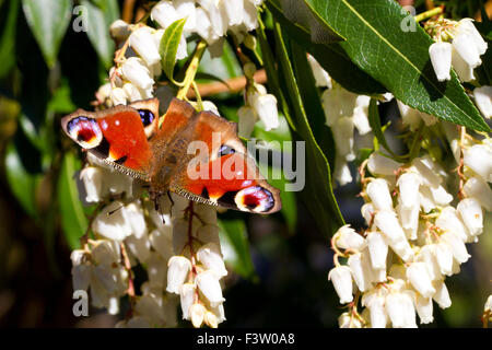 Peacock butterfly (Aglais io) adult feeding on flowers of Japanese Pieris (Pieris japonica) in a garden. Powys, - Stock Photo