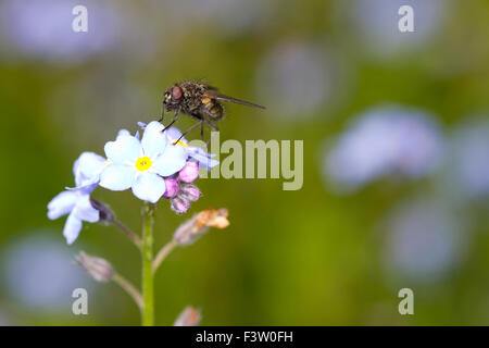 Fly (family Muscidae) adult on flowers of Wood Forget-me-not (Myosotis sylvatica). Powys, Wales. May. - Stock Photo