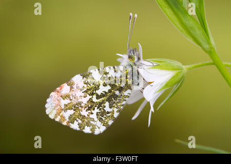 Orange-tip butterfly (Anthocharis cardamines) adult male roosting on a Greater Stitchwort (Stellaria holostea) flower. - Stock Photo