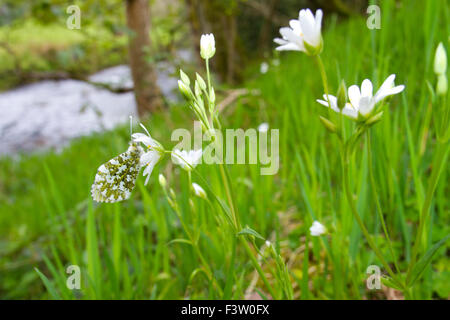 Orange-tip butterfly (Anthocharis cardamines) adult female roosting on a Greater Stitchwort (Stellaria holostea) - Stock Photo