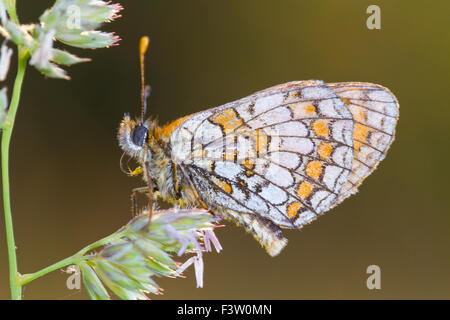 Heath Fritillary butterfly (Mellicta athalia) adult roosting at sunset. On the Causse de Gramat, Lot region, France. - Stock Photo
