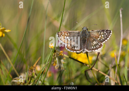 Safflower Skipper butterfly (Pyrgus carthami) adult basking in early morning sunshine. France. - Stock Photo
