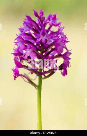 Pyramidal Orchid (Anacamptis pyramidalis) flowering on the Causse de Gramat, Lot region, France. May. - Stock Photo